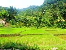 绿色米领域和树 库存图片