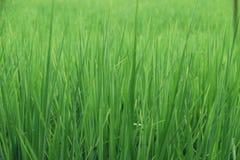 绿色米 免版税库存图片