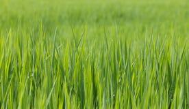 绿色米 库存图片