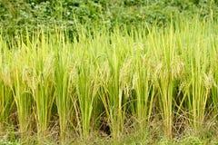 绿色米 库存照片