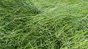 绿色粗锉草密集的丛林弯曲在风下在一夏天好日子 股票录像