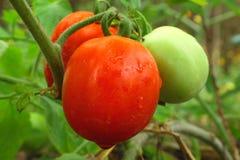 绿色红色蕃茄 库存照片