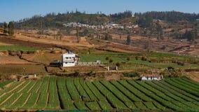 绿色红萝卜领域连续种植与天空蔚蓝和小小山在背景中 库存照片