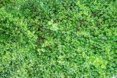绿色纹理留下灌木 免版税库存图片