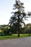 绿色结构树在公园 库存照片
