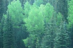 绿色结构树在Santa Fe国家森林, NM里 免版税库存照片