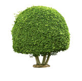 绿色结构树白色 免版税库存图片