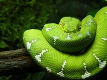 绿色结构树蟒蛇 免版税库存图片
