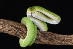 绿色结构树Python 图库摄影
