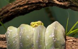 绿色结构树Python 免版税库存照片