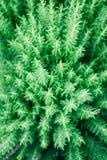 绿色罗斯玛丽药草园的布什 图库摄影