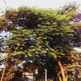 绿色美丽的树 免版税图库摄影