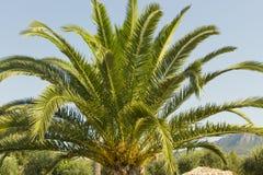 绿色美丽的棕榈树和蓝色夏天天空 免版税库存照片