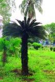 绿色美丽的棕榈树 长的树干枣椰子树 在棕榈树的日期 枣椰子分支与成熟日期 束barhi日期 库存照片