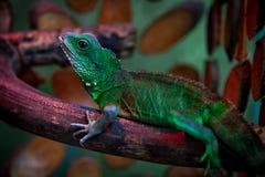 绿色美丽的蜥蜴 库存图片