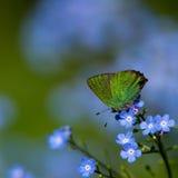 绿色翅上有细纹的蝶II (Callophrys rubi),瑞典 免版税图库摄影