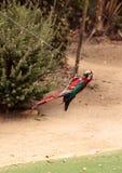 绿色翼金刚鹦鹉鹦鹉鸟Ara chloropterus 免版税图库摄影