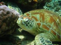 绿色老乌龟 免版税库存照片