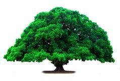 绿色老结构树 库存图片
