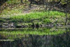 绿色老虎约翰・利利在天堂春天种植反射 库存照片