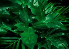 绿色背景概念 热带棕榈叶,密林叶子关闭 免版税库存照片