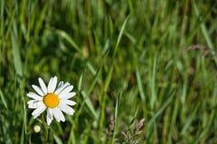 绿色背景的一野生白卡米尔 图库摄影