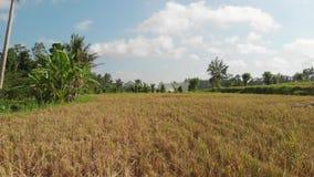 绿色背景 4K飞行米领域寄生虫录影在巴厘岛的 绿色横向黄色 米农场,草,自然 影视素材