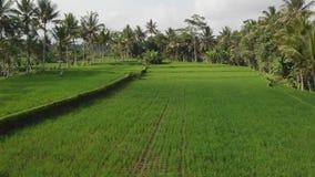 绿色背景 4K飞行米领域寄生虫录影在巴厘岛的 绿色横向黄色 米农场,草,自然 股票录像