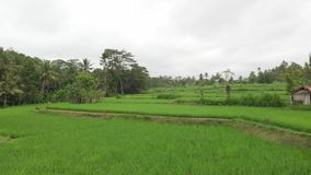 绿色背景 4K飞行米领域寄生虫录影在巴厘岛的 绿色横向黄色 米农场,草,自然 股票视频