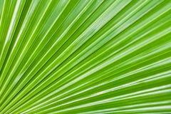 绿色自然背景,构造一棵热带棕榈的大叶子 库存图片