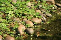 绿色自然pennywort种植岩石 免版税库存照片