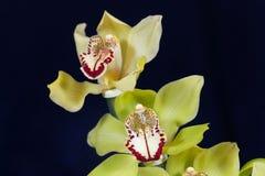 绿色色的兰花兰花的花 库存图片