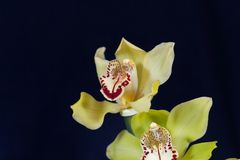 绿色色的兰花兰花的花 免版税库存照片