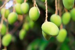 绿色芒果树特写镜头细节 库存照片