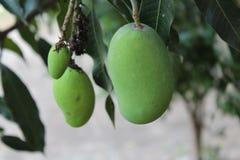 绿色芒果 免版税图库摄影
