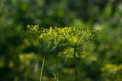 绿色芬芳莳萝在夏天庭院里 库存照片