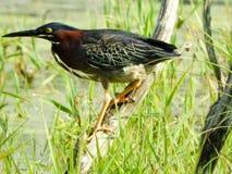 绿色苍鹭在寻找膳食的沼泽分支栖息 免版税库存图片