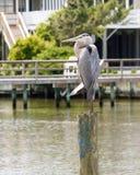 绿色苍鹭在岗位栖息在相互沿海水路附近 库存图片