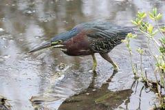 绿色苍鹭狩猎 免版税库存图片