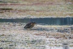绿色苍鹭鸟 库存图片