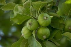 绿色苹果生长 免版税库存照片