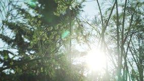 绿色茴香在庭院床股票英尺长度录影成熟 股票视频