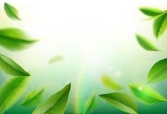 绿色茶叶传染媒介自然背景 免版税图库摄影