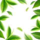 绿色茶叶传染媒介自然背景 免版税库存照片