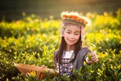绿色茶叶收获由女孩的 免版税图库摄影