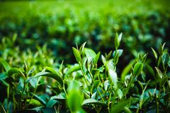 绿色茶叶种植园在Lam Dong,越南 库存图片