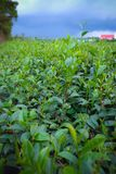 绿色茶叶种植园在Lam Dong,越南 图库摄影