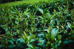 绿色茶叶种植园在Lam Dong,越南 免版税库存照片
