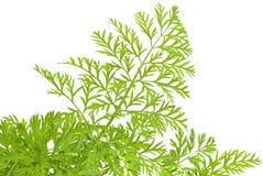绿色草本 免版税库存图片