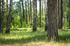 绿色草甸在森林阳光下通过树 免版税图库摄影